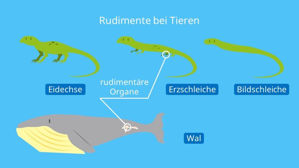 Rudimente bei Tieren, Rudimentäre Organe Beispiele, Rudiment, Beckengürtel Wal, Evolutionsbelege