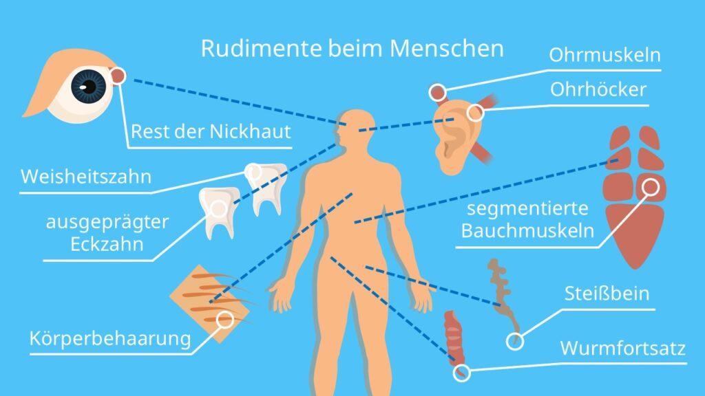 Rudimente beim Menschen, Rudimente Beispiele, Rudimente Mensch, rudimentäre Organe, rudimentär, Weisheitszähne Evolution, Evolutionsbelege