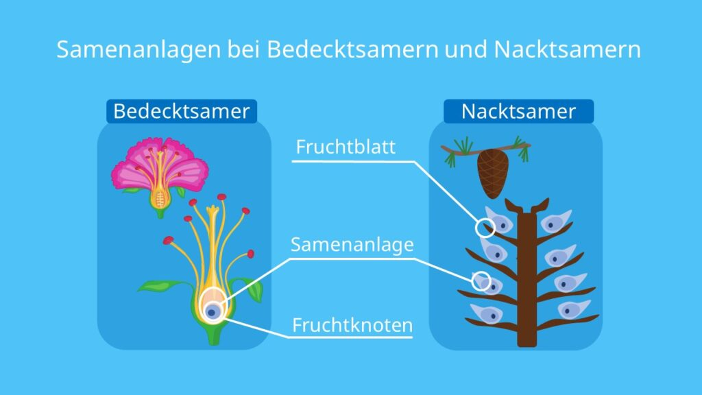 samenpflanzen, Bedecktsamer, Nacktsamer, angiospermen, gymnospermen, konifere
