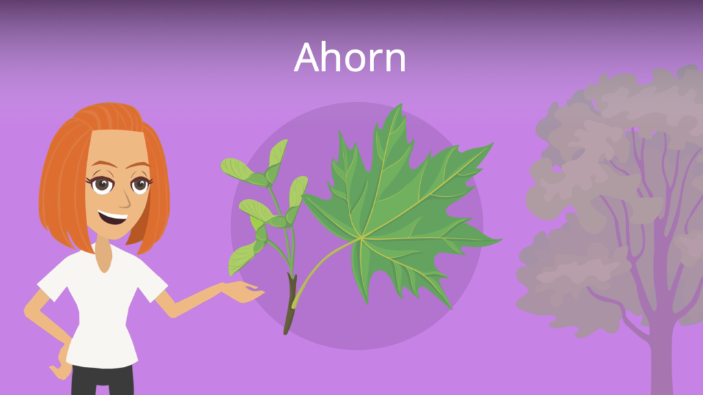 Zum Video: Ahorn