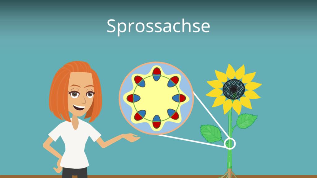 Zum Video: Sprossachse