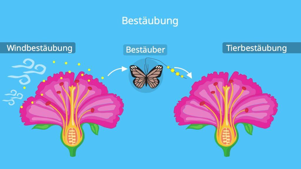 Blüte aufbau; kirschblüte aufbau, Bestäubung, Stempel blüte, Tierbestäubung, fruchtknoten einer Pflanze, von der Blüte zur Frucht