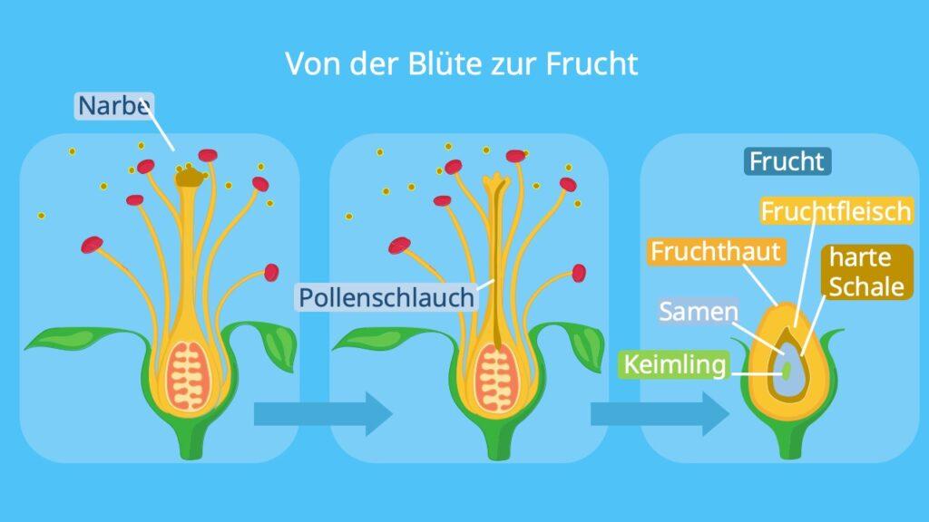 von der Blüte zur Frucht; Befruchtung, Samen, Pollenschlauch; Blüte aufbau, Frucht