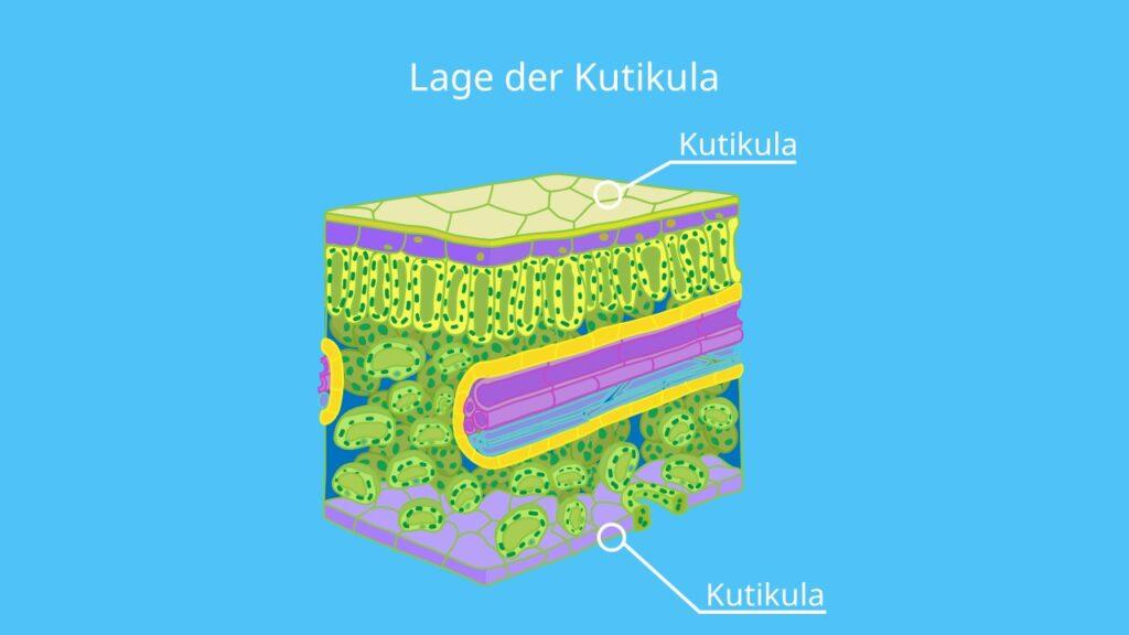 kutikula, Cuticula, blattaufbau, blattquerschnitt, epidermis, stomata, wachsschicht