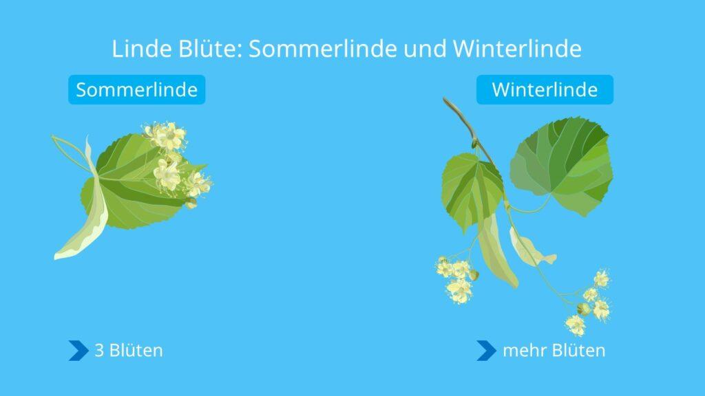 Baum linde blüte, linde blütezeit, linde blüten, linde blüte, sommerlinde, winterlinde