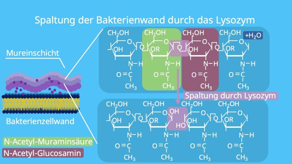 Spaltung, Hydrolyse, Bakterien, Zellwand, Murein, Mureinschicht, N-Acetylglucosamin, N-Acetylmuraminsäure