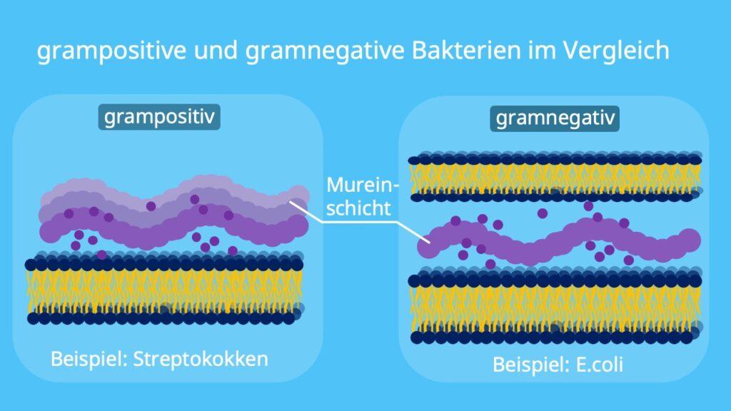 Lysozym, Grampositiv, Gramnegativ, Bakterien, Mureinschicht, Membran, Streptokokken, E.coli