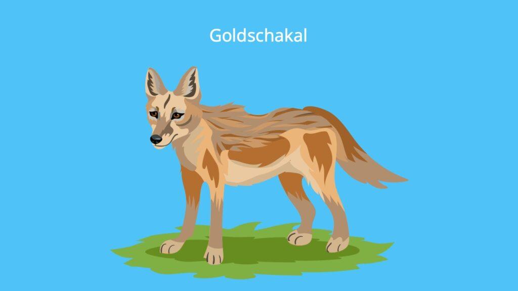 Gold Schakal, jackal, jackals, Schakale