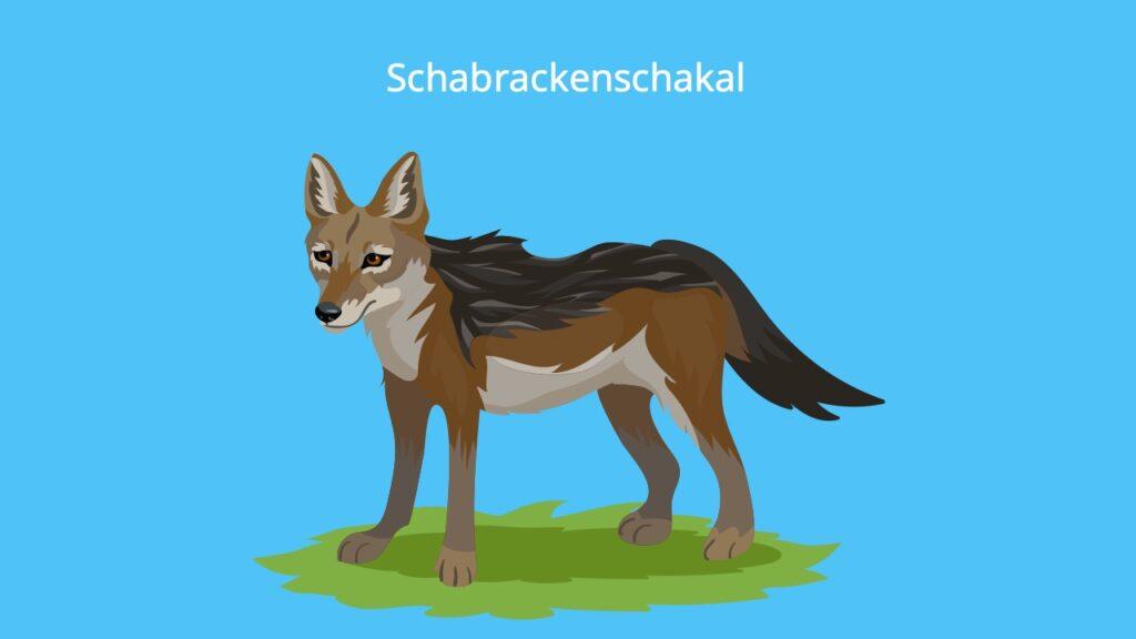 jackal, jackals, Schakal
