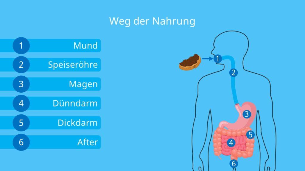 Verdauungsorgane Mensch; Verdauungsorgane mit Beschriftung, verdauungstrakt Mensch, anatomie Verdauungssystem, magen aufbau, dünndarm aufgabe, aufbau dickdarm, magen lage, aufbau darm, Speiseröhre aufbau, innere Organe des Menschen Schaubild