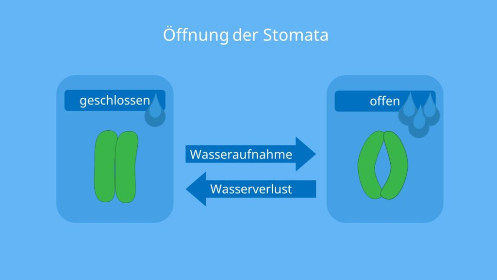 Stomata, Spaltöffnung, Schließzellen, schließzellen mechanismus, stomata öffnung