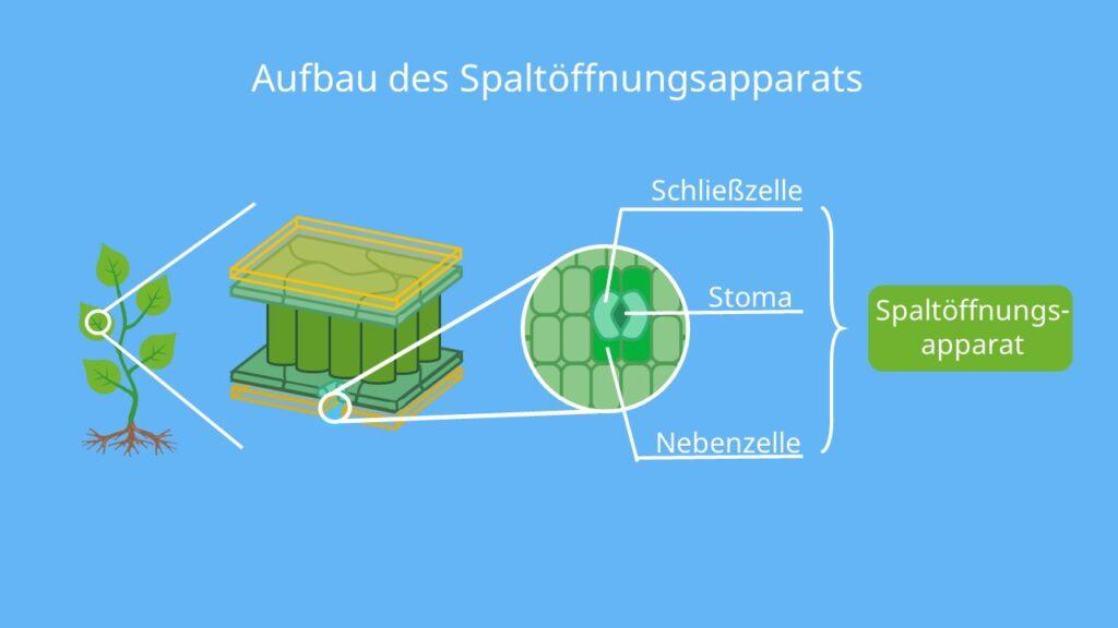 Spaltöffnung beschriftung, Stomata aufbau, Spaltöffnungsapparat, Schließzellen, Nebenzellen, blatt