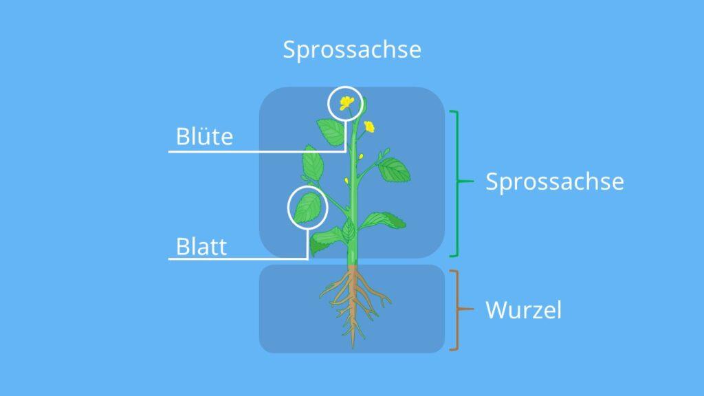 Sprossachse Aufbau, Pflanzenspross, Pflanze aufbau, nodien, zweikeimblättrige Pflanzen, aufbau einer blütenpflanze