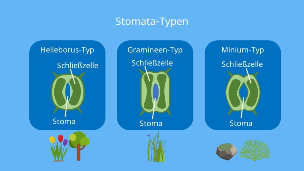 Stomata, stomata typen, Spaltöffnungen, helleborus, mnium, gramineen, schließzellen