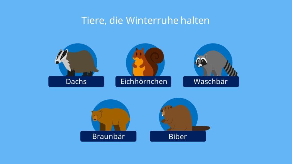 Winterruhe, Tiere, Dachs, Eichhörnchen, Waschbär, Braunbär, Biber