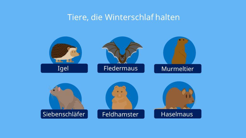Winterschlaf, Tiere, Igel, Siebenschläfer, Murmeltier, Feldhamster, Haselmaus, Fledermaus