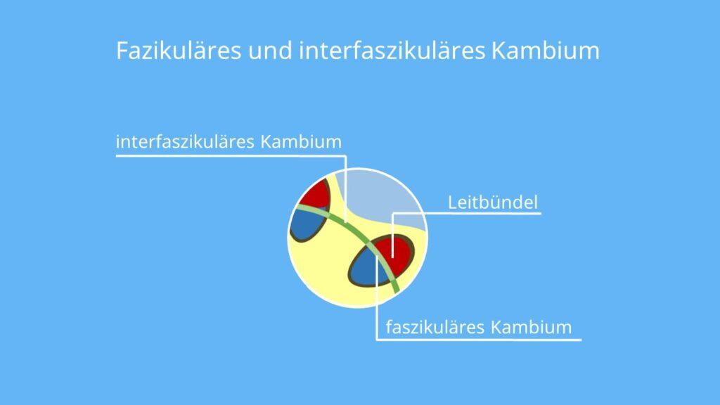 Kambiumschicht, faszikuläres Kambium, interfaszikuläres kambium; faszikulär, Holzstrahlen, interfaszikulär, Sprossachse Querschnitt, Dickenwachstum