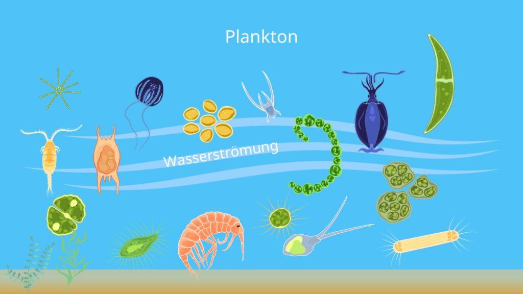 Was ist Plankton, tierisches Plankton, Zooplankton, Phytoplankton, pflanzliches Plankton, kleinstes Lebewewesen, Kleinstlebewesen, antarktischer Krill, plankton algen, limnoplankton