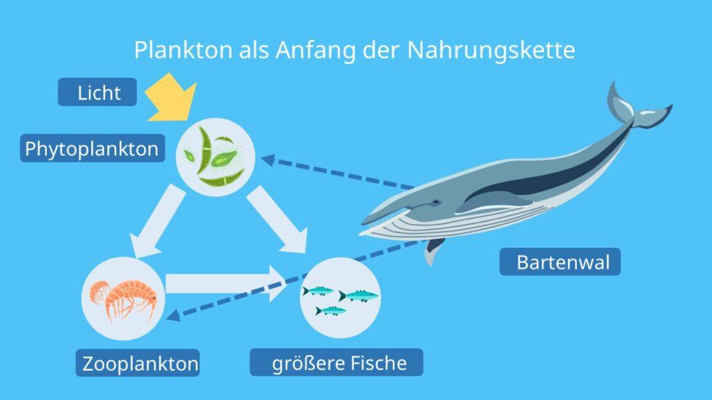 Zooplankton, Tierisches Plankton, Phytoplankton, Krill, Bartenwale, nahrungskette Ozean, nahrungsphyramide meer, kieselalgen-fresser