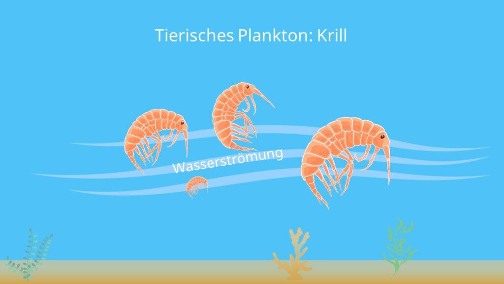 kleinlebewesen im Wasser, tierisches Plankton, krill größe, antarktischer krill