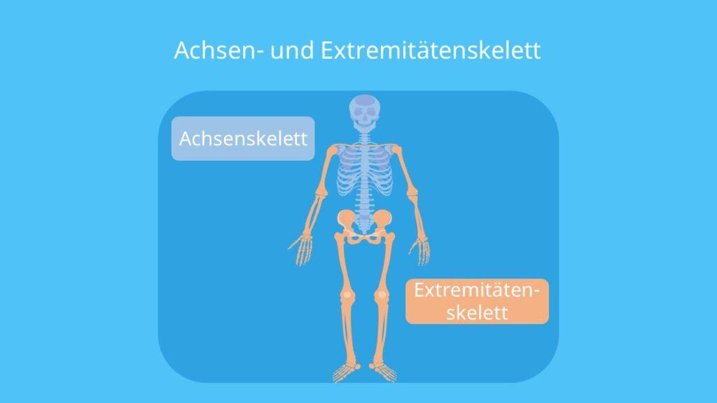 das Skelett, das menschliche Skelett, Skelett Mensch, menschliches Skelett, knochen Mensch, skelett anatomie, Knochengerüst, Achsenskelett, Rumpfskelett, Gliedmaßenskelett