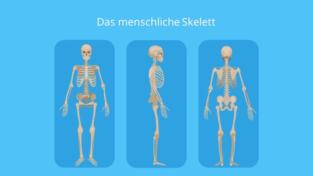 das Skelett, das menschliche Skelett, Skelett Mensch, menschliches Skelett, knochen Mensch, skelett anatomie, Knochengerüst