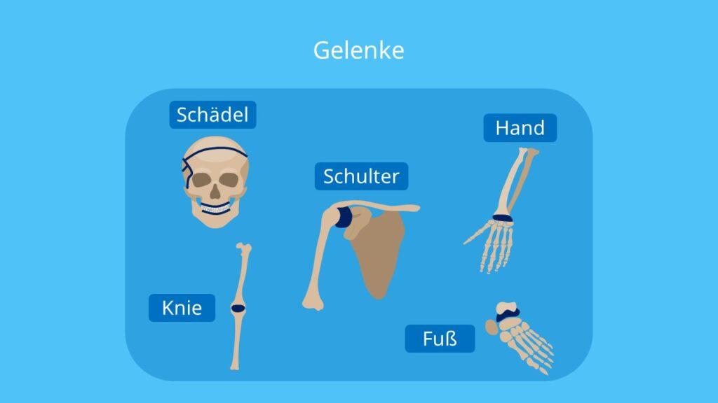Skelett Mensch, Gelenke, menschliches Skelett