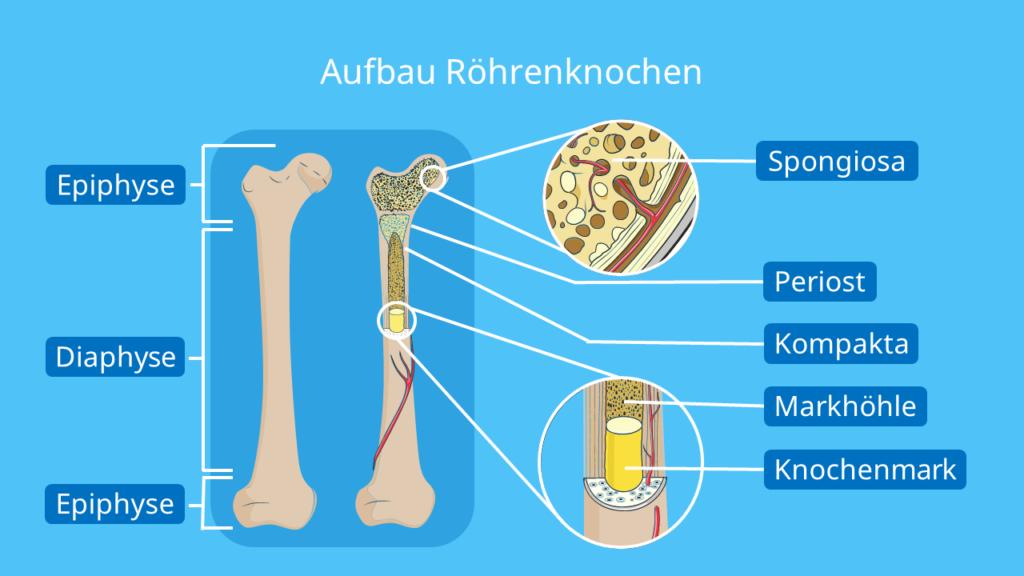 Knochenaufbau Mensch, anatomie Knochen, Knochenzellen, spongiöser Knochen, Röhrenknochen aufbau, knochensubstanz, knochenbau
