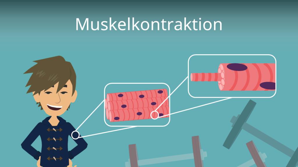 Zum Video: Muskelkontraktion