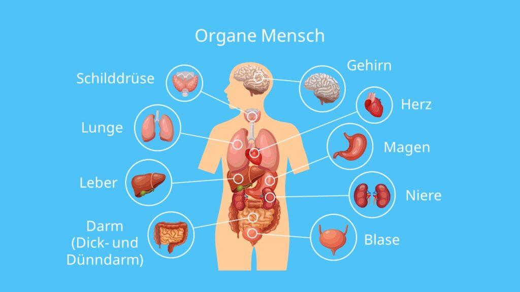 Organe Mensch, innere Organe Mensch, anatomie Mensch organe, lage innere Organe Mensch, organe mensch Bauch, innere Organe des Menschen Schaubild, Herz Organ, wo sitzt das Herz?,lage milz, leber im Körper, wo liegt die Leber, organe mensch beschriftung, Anatomie Bauch
