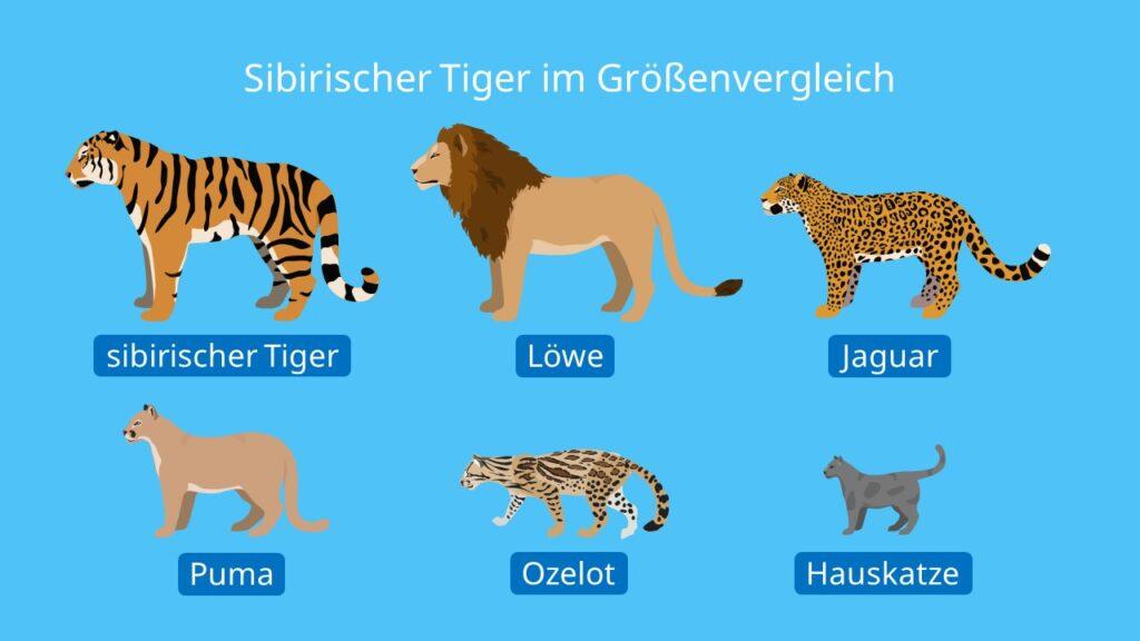 Sibirischer Tiger im Größenvergleich, sibirischer tiger größenvergleich, panthera tigris altaica, sibirischer tiger, größte raubkatze der welt, südamerikanische raubkatze, sibirischer tiger bild