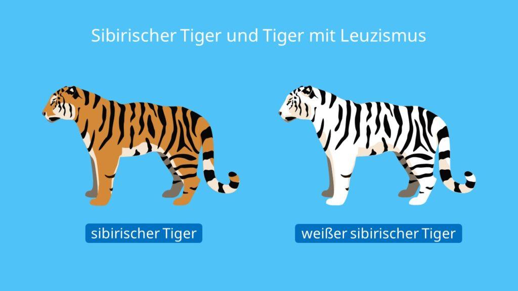 Sibirischer Tiger und Tiger mit Leuzismus, sibirischer tiger, leuzismus, panthera tigris althaica, sibirischer tiger bild, sibirischer tiger weiß