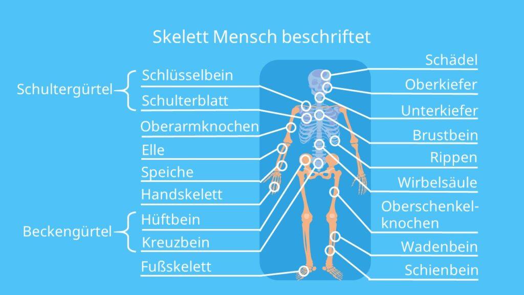 Skelett beschriftet, das Skelett, das menschliche Skelett, Skelett Mensch, menschliches Skelett, knochen Mensch, skelett anatomie, Knochengerüst, Achsenskelett, Rumpfskelett, Gliedmaßenskelett
