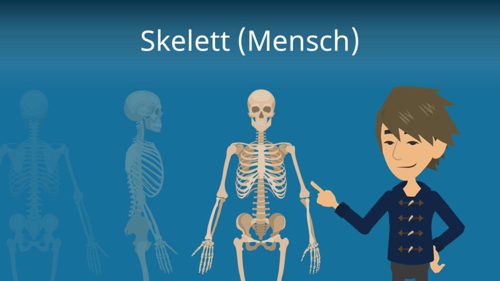 Zum Video: Skelett (Mensch)