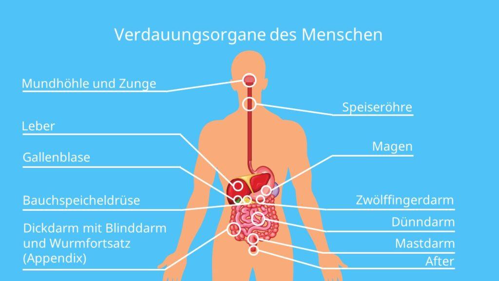 Innere körper organe frau Menschlicher Körper