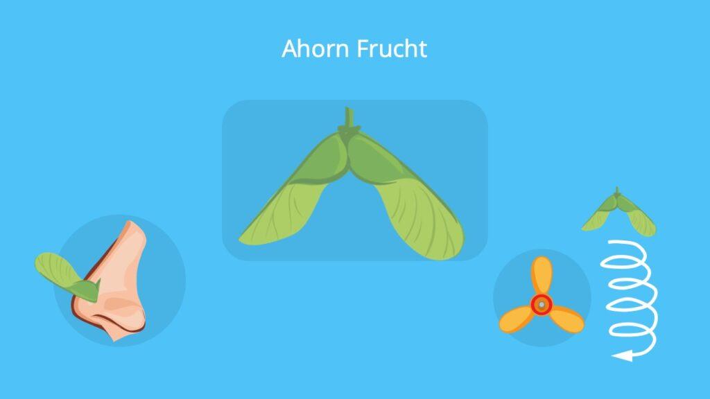 ahorn frucht, frucht ahorn, Nasenzwicker ahorn, ahorn Propeller, propeller baum, baum propeller, nasenzwicker baum, ahornfrucht