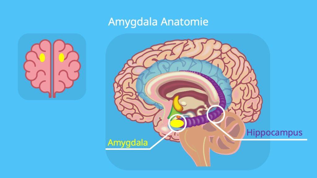 Mandelkern Gehirn, amygdalae, Amygdala hippocampus, amygdala angst, corpus amygdaloideum