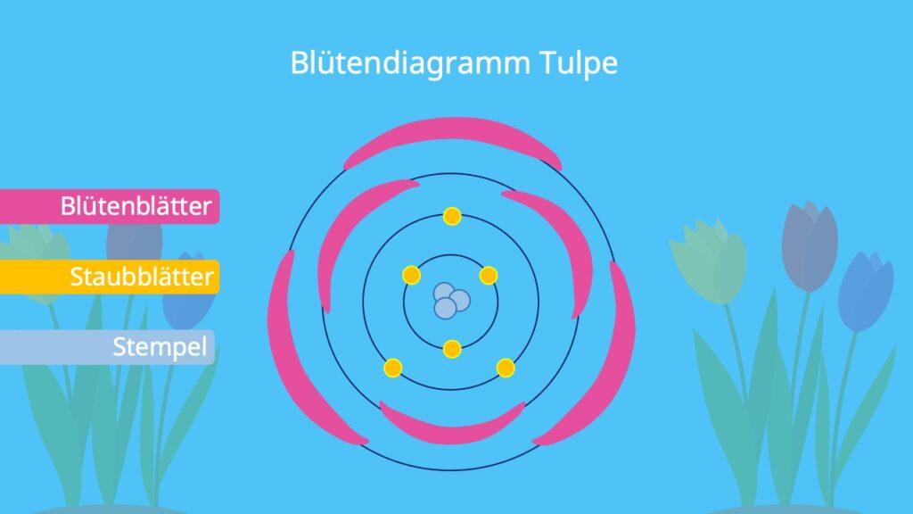 Text: Blütendiagramm Tulpe, Blütensymmetrie, Tragblatt, blüte gezeichnet, legebild blüte, Blütenformel Tulpe