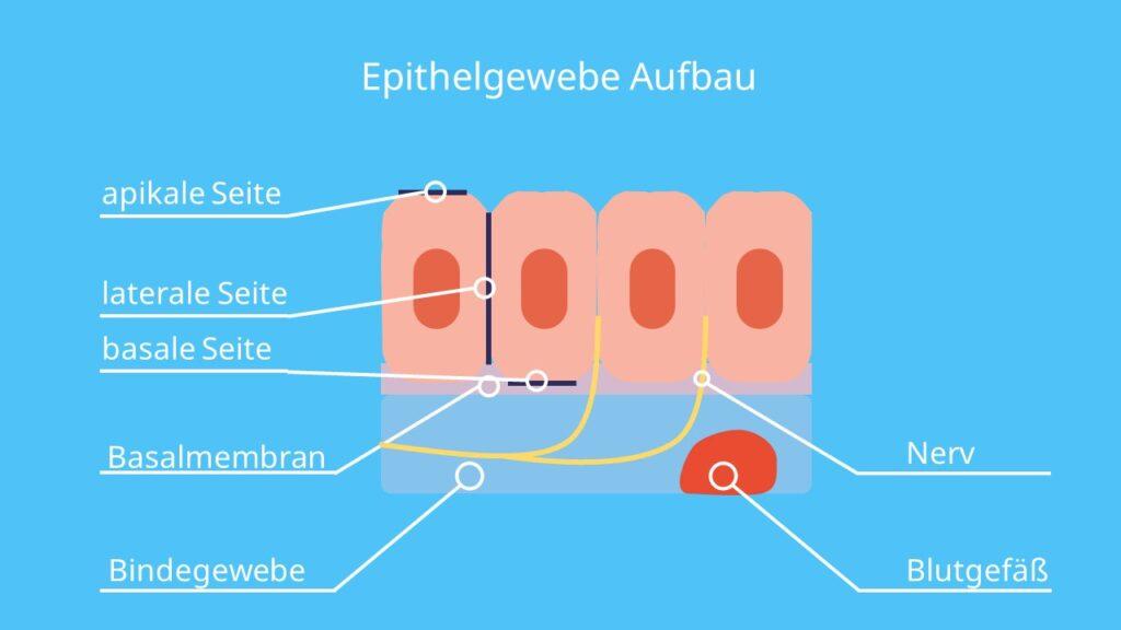 Epithelgewebe Aufbau; Epithelzelle, epithelien, apikal basal, undurchlässiges Gewebe, Basalmembran