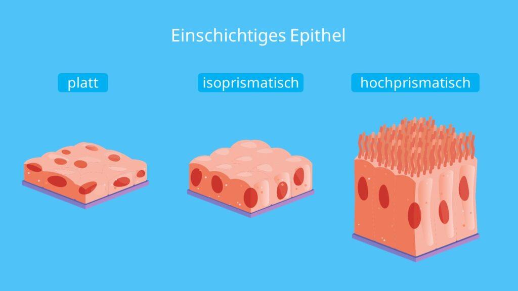 einschichtiges Plattenepithel, isoprismatisches Epithel, kubisches Epithel, Zylinderepithel, einschichtig hochprismatisches Epithel