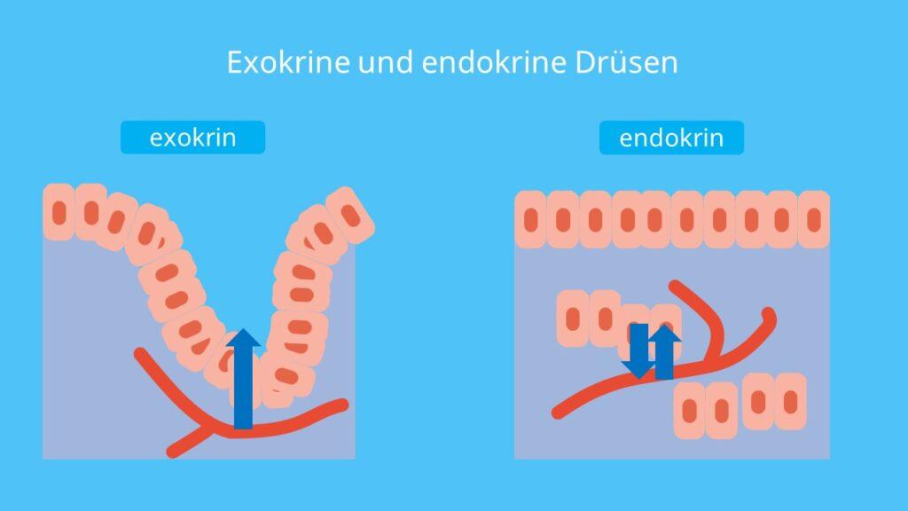 exokrine Drüsen, endokrine Drüsen, Sekretion, endokrine Sekretion
