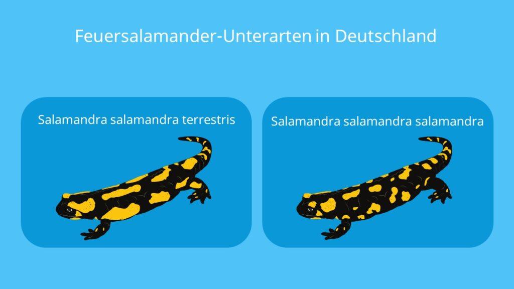 salamanderarten, salamander arten, salamandra, salamandra salamandra, feuersalamander, bilder feuersalamander