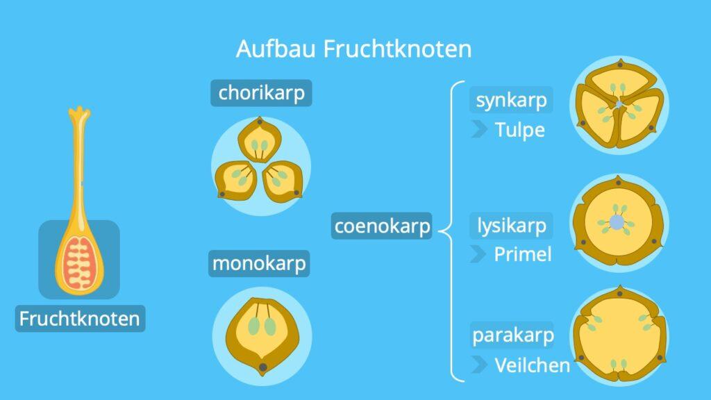 Fruchtknoten einer Pflanze; Blüte, Fruchtknoten querschnitt, coenokarp, parakarp, oberständiger Fruchtboden, funktion einer Blüte, Karpelle