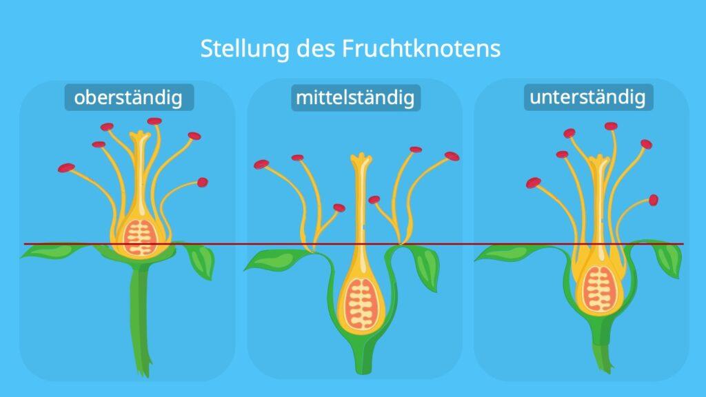 oberständiger Fruchtknoten, Fruchtknotenteil, unterständig, mittelständig, halbunterständig, hypogyn, perigyn, epigyn, Fruchtboden, fruchtknoten einer Pflanze