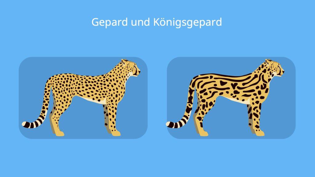 Königsgepard, gepard fell, gepard arten, gepard bilder, wie sieht ein gepard aus