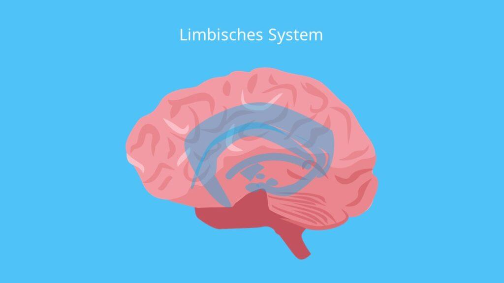 limbic system, limbisch, Amygdala Hippocampus, Gyrus cinguli