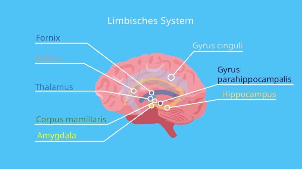 Gyrus cinguli, Amygdala Hippocampus, limbic system, corpus mamillare, Mandelkern