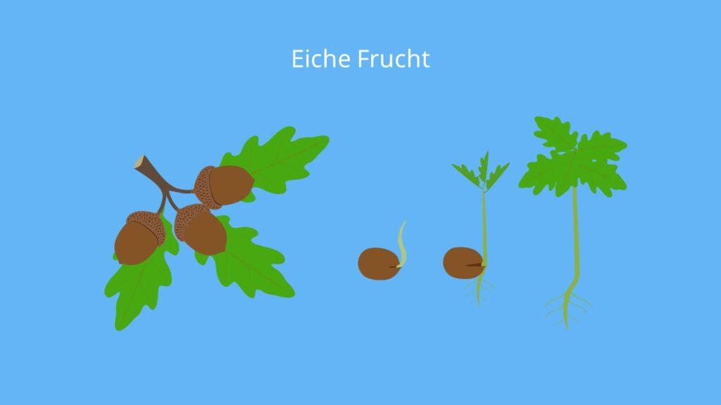 eichel essen, eichel nuss, Eiche, Eichel, Eicheln, Eiche Frucht, eiche früchte