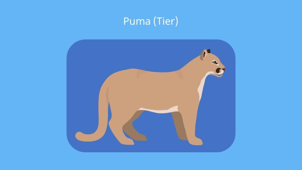 Puma tier, puma bilder, puma tier bilder, berglöwe, silberlöwe, cougar, kuguar, mountain lion