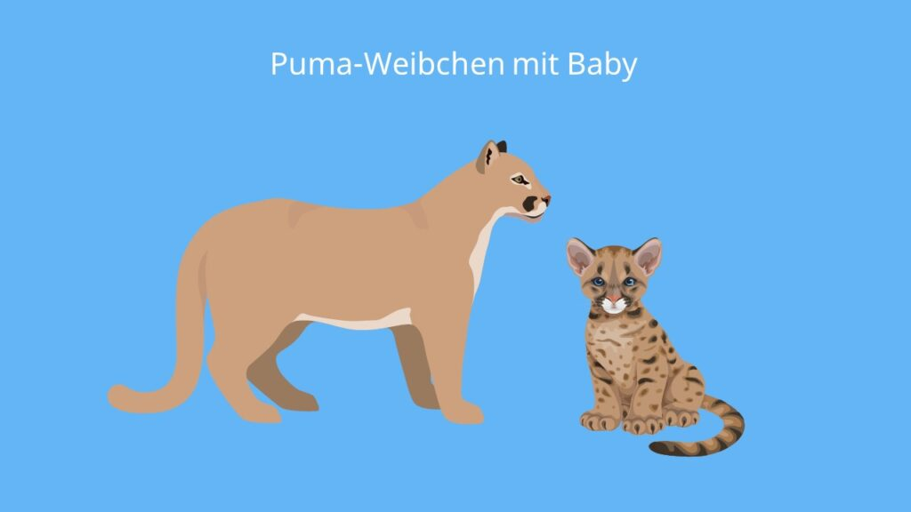 puma tier, puma concolor, puma baby, baby puma, puma bilder, puma tier bilder, puma tiere